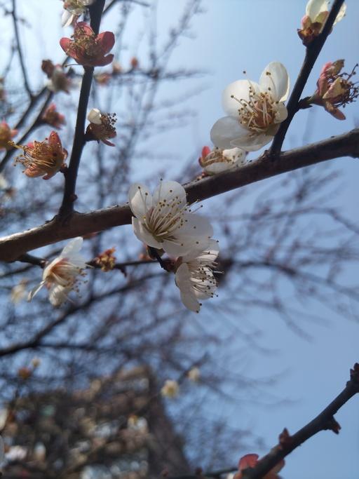 2017春游, 花, 梅花